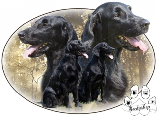Flat coated retriever č.5