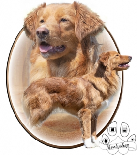 Nova scotia duck tolling retriever č.2