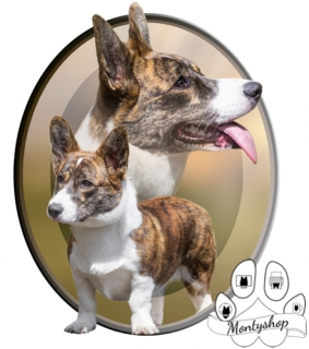 Cardigan Welsh Corgi č.1